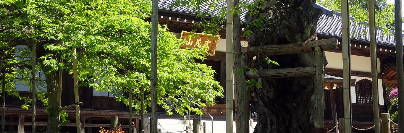 馬頭院-水戸黄門の枝垂れ栗
